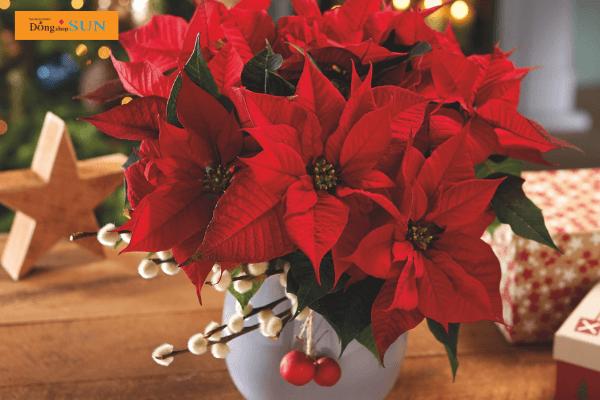 Hoa Trạng nguyên - biểu tượng của Giáng Sinh