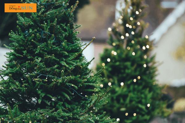Cây thông - Biểu tượng của Giáng Sinh